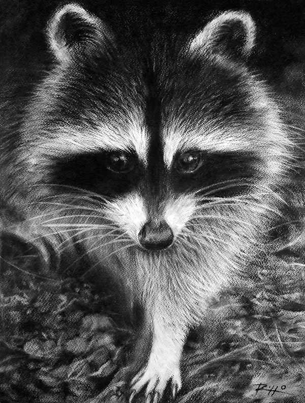 Raccoon charcoal drawing